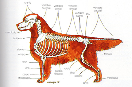 anatomia-golden