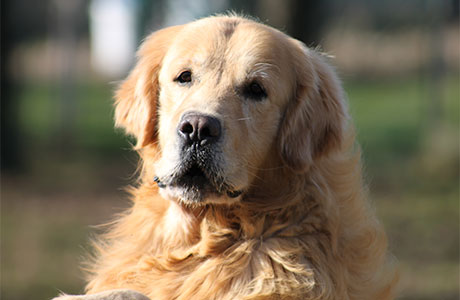 Allevamento Labrador Retriever E Golden Retriever Allevamento San